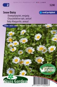 Margriet Snow Daisy (Chrysanthemum)