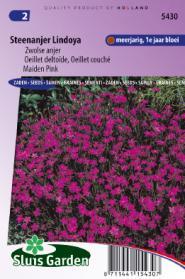 Steenanjer Lindoya (Dianthus)