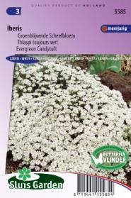 Scheefbloem groenblijvende Wit (Iberis)