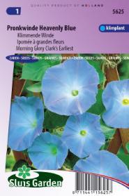 Klimmende Winde Clark's Blue (Ipomoea)