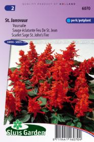 Salvia Sint Jansvuur